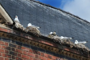 Seagulls nesting in gutter on building roof in town center.